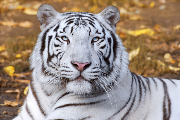 White tiger up close laying down