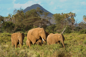 Scenic view of elephants walking through grasslands with a mountain in the background
