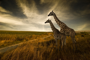 Scenic view of Tanzania grasslands with two giraffes standing side by side