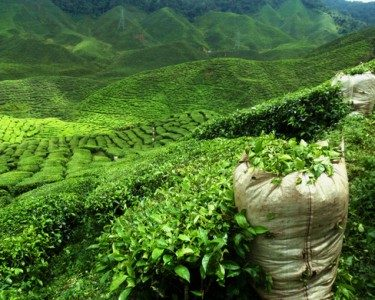 Green tea farmland in a mountainous area