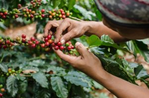Coffee beans being hand picked from a green bush