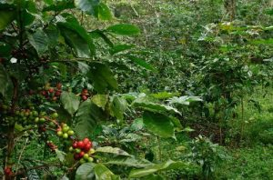 Coffee growing on lush green trees in a forest