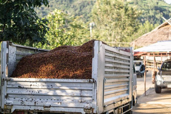 Large amounts of coffee beans being transported in a truck bed
