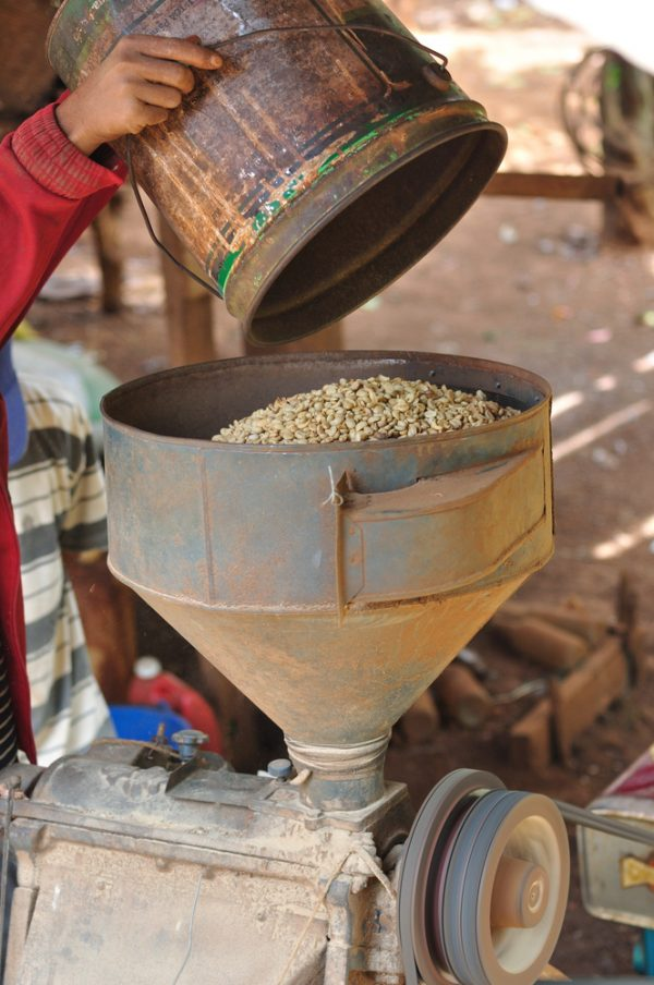 Coffee beans being poured from a tin bucket into a machine grinder